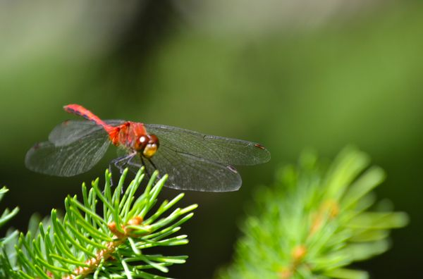 Dragonfly On Pine Tree