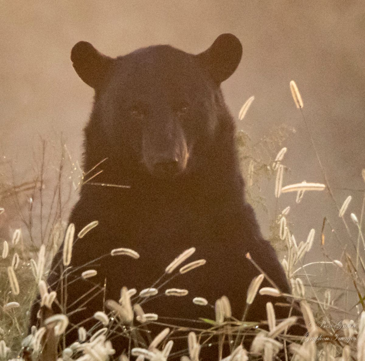 Black Bear Standing in Morning Fog Alligator River NC-1479.jpg