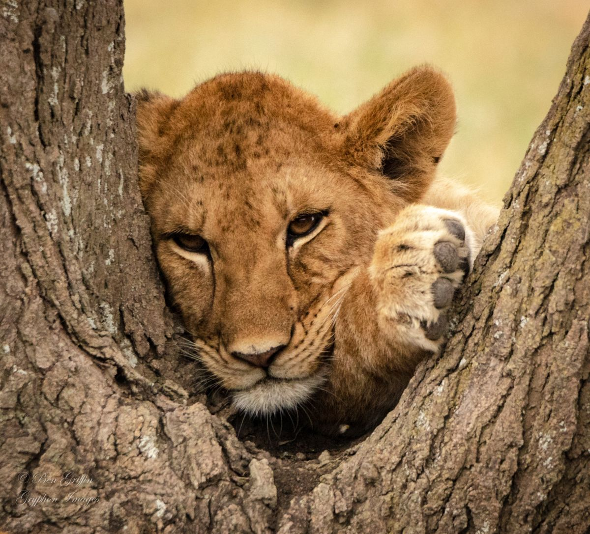 Lion Cub Napping in Tree-0190