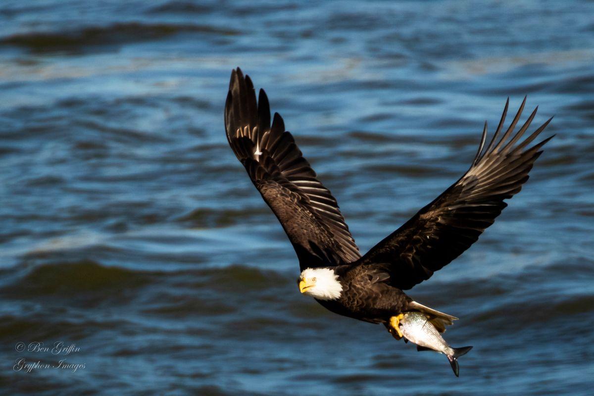 Eagles at Conowingo Dam