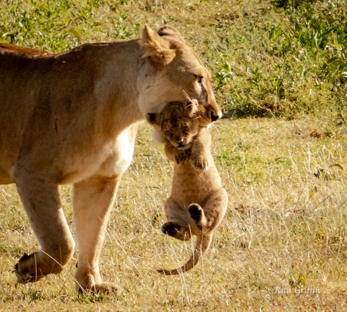 Lioness with Cub in Mouth-1 Ndutu Area Rita-7077