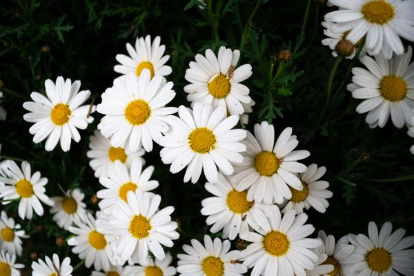 A Meadow of Daisies