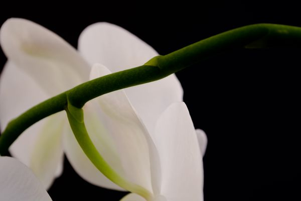 Detail of Stem of White Orchid