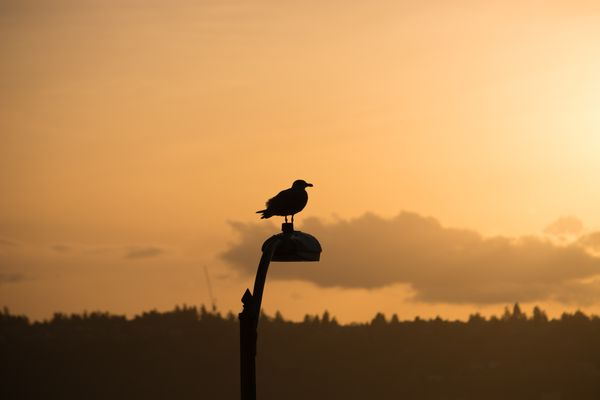 Silhouette of Seagull in Seattle