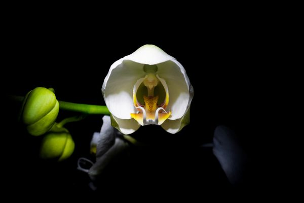 A blooming orchid isolated on black