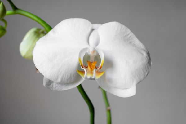 Closeup of a white orchid flower with blurry stems and buds isol