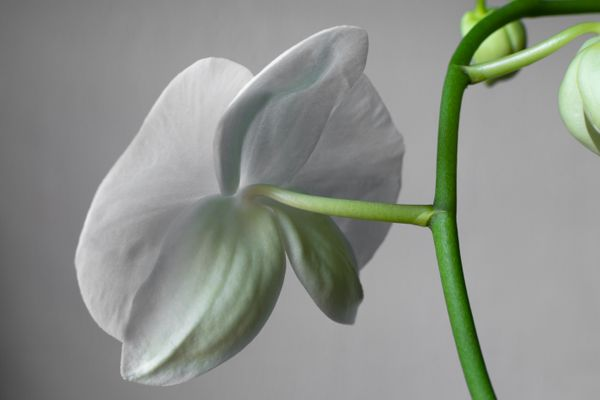 Single white orchid flower from behind isolated on grey