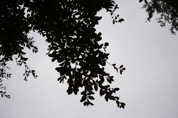 Look Up at Leaves on Tree