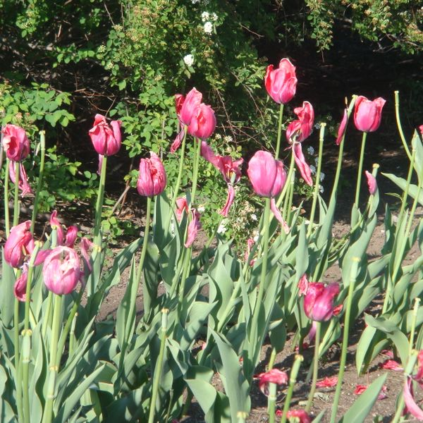 tulips's featured image