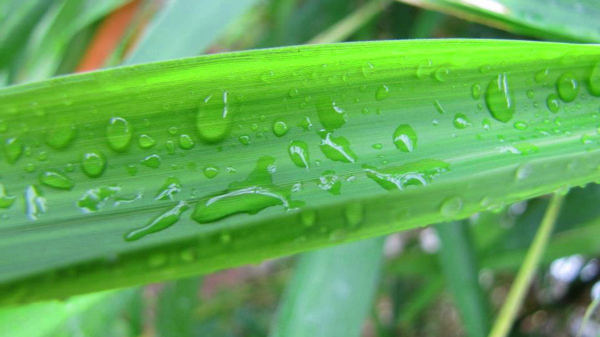 Bamboo Water Droplets